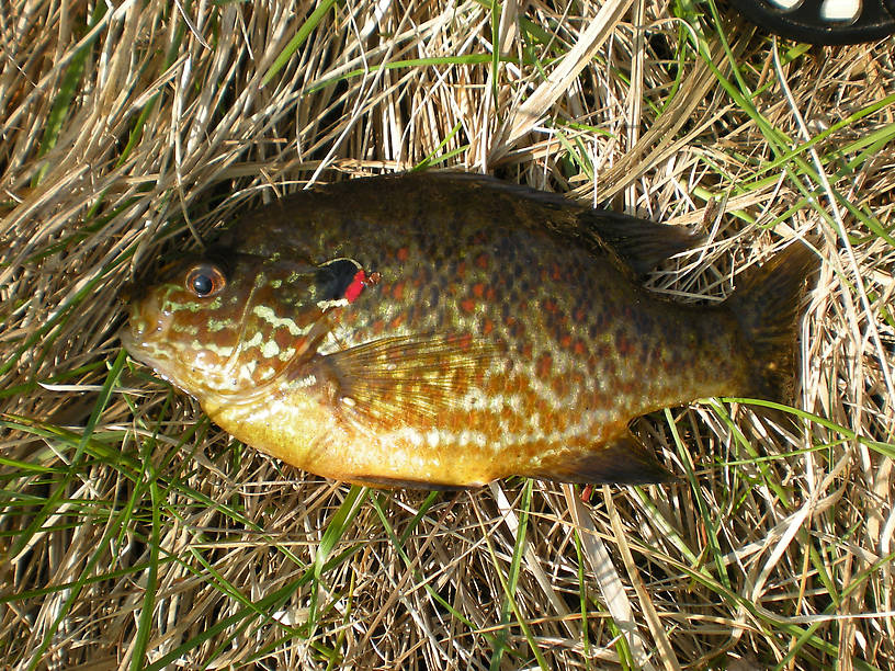 Fat colorful pumpkinseed from the Marsh