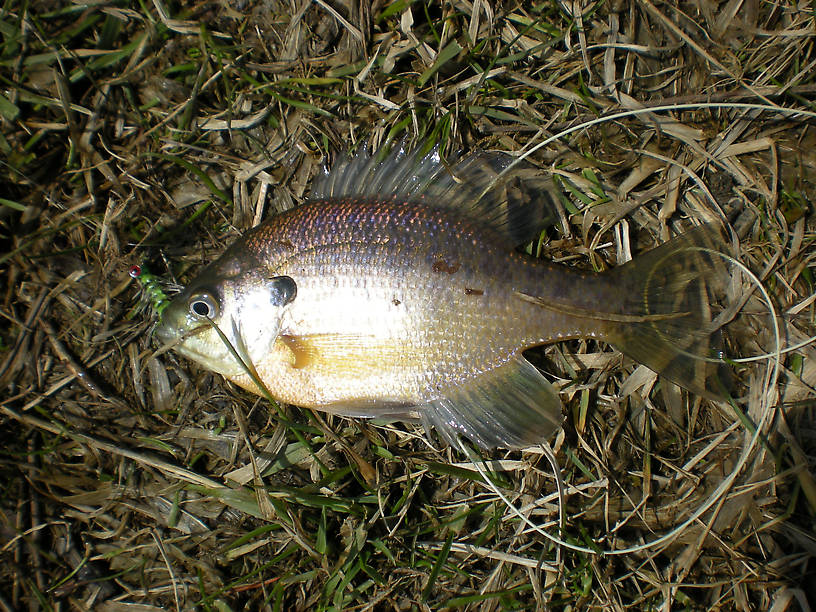 First bluegill of the season, from Sylvan Glen Lake in Troy downstate