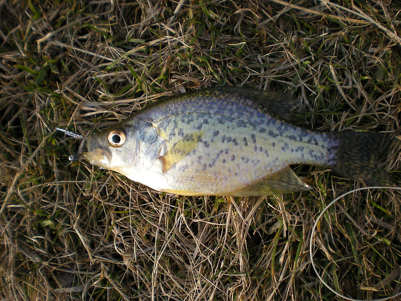 First crappie and first flyrod fish of any species this season