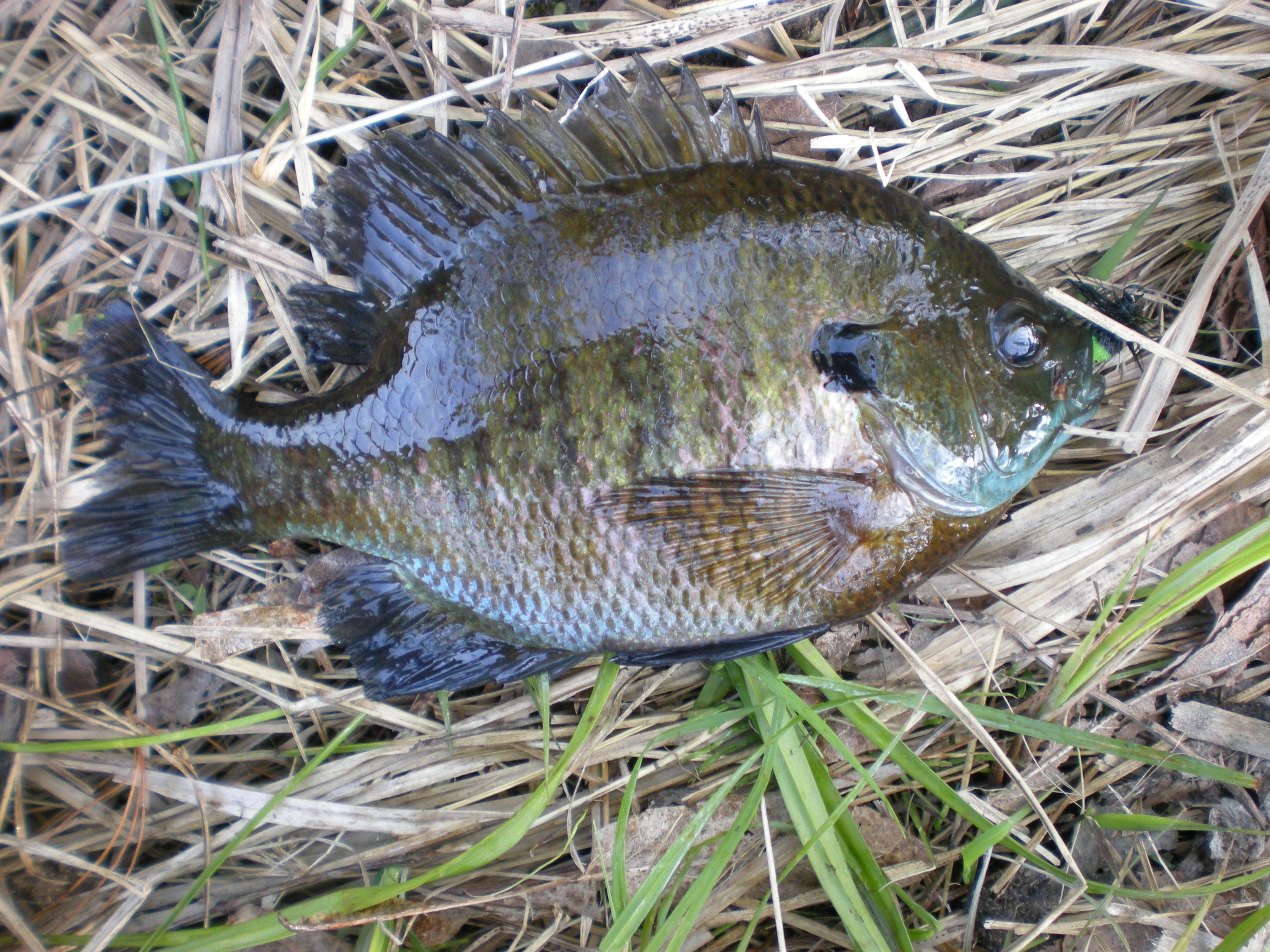 Only bluegill I have pulled from the Marsh so far, nice big male spawner