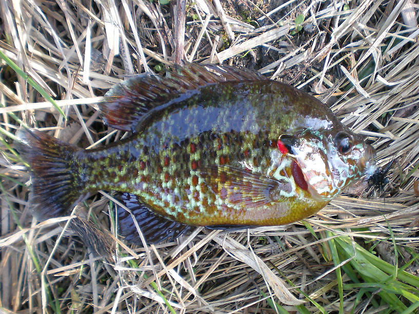 If there's anything as pretty as a brookie, it's a spawning male pumpkinseed!