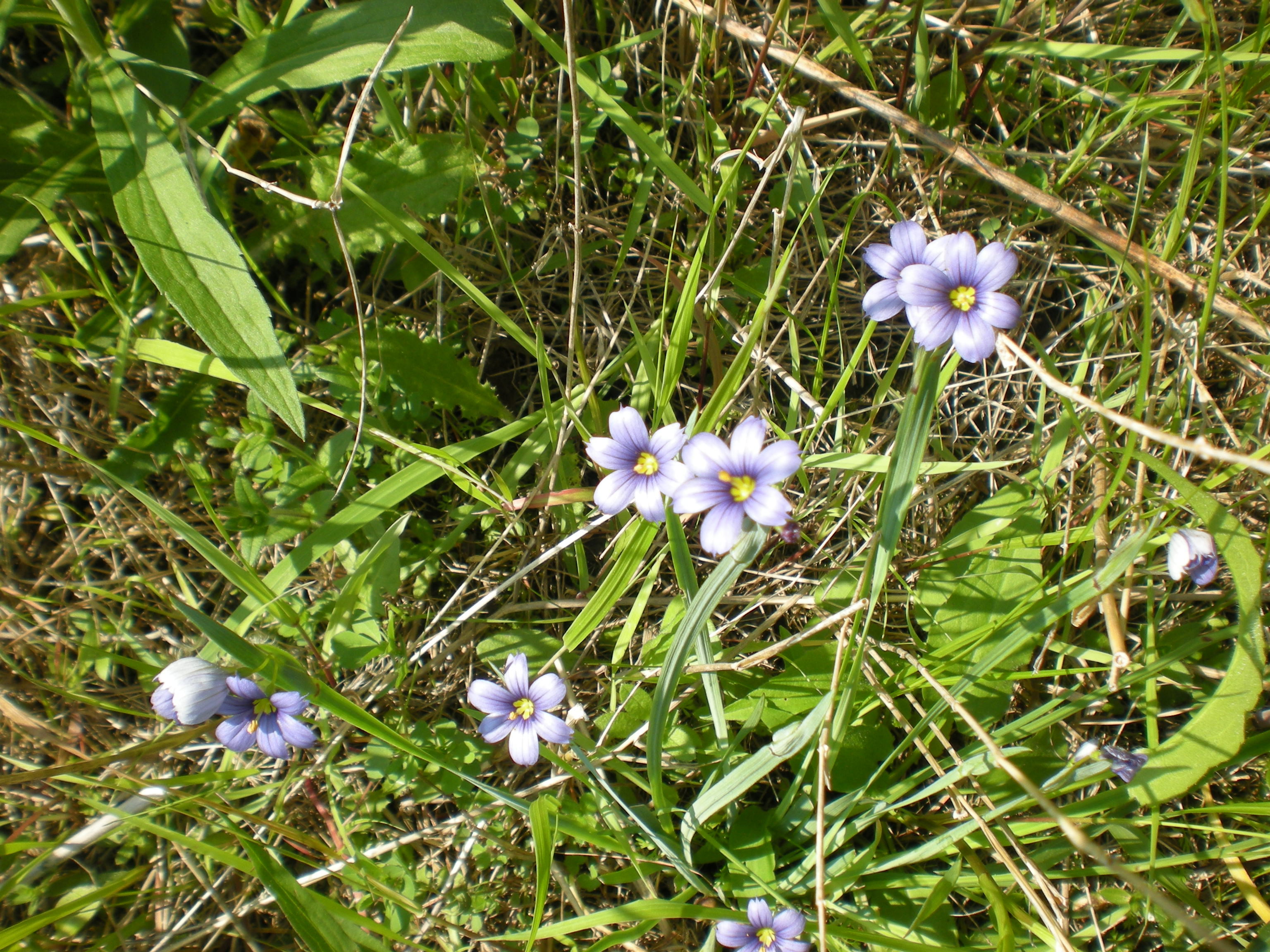 Blue-eyed grass, a member of the iris family