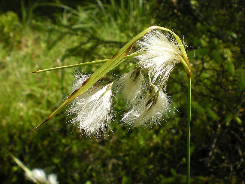 Cotton-grass (Eriophorum sp.)