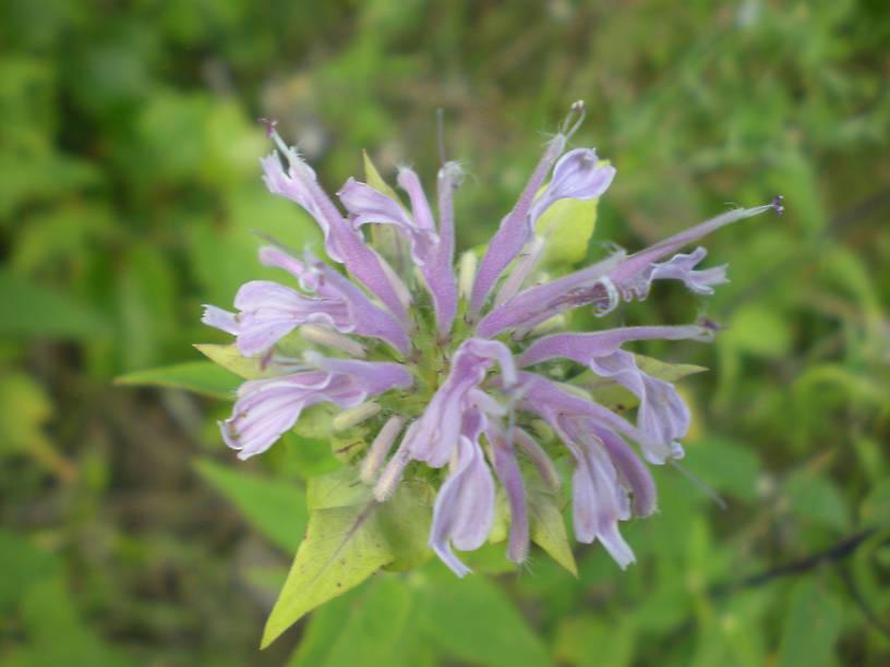 Beebalm or wild bergamot (Monarda fistulosa)