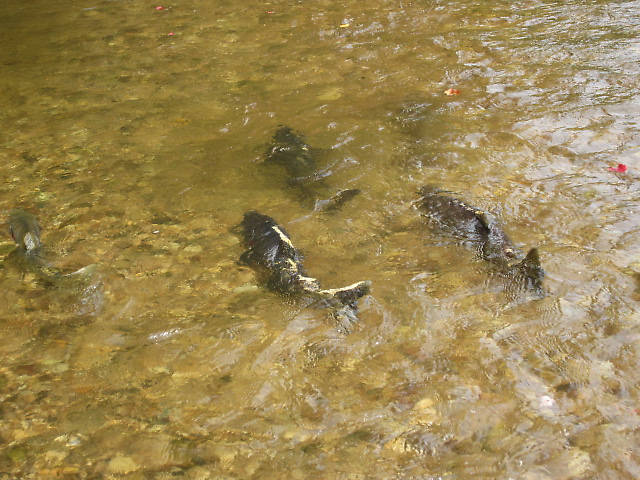 "These fish are called ""skunks"". They are smaller males just about tapped out with spawning. They turn black with white trim...Skunk like...They are on auto-pilot. In the last throes of dying. Their little brains filled with the reverie of the spawning dance. You could practically walk up and touch them."