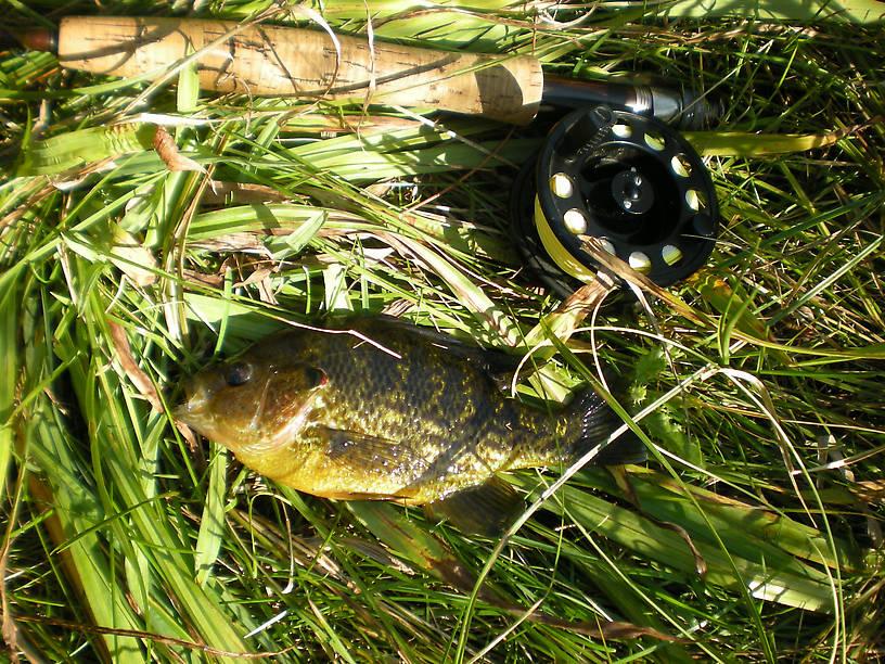 Big fat hybrid sunfish (pumpkinseed x green) from Clark's Marsh - on a #10 Joe's Hopper