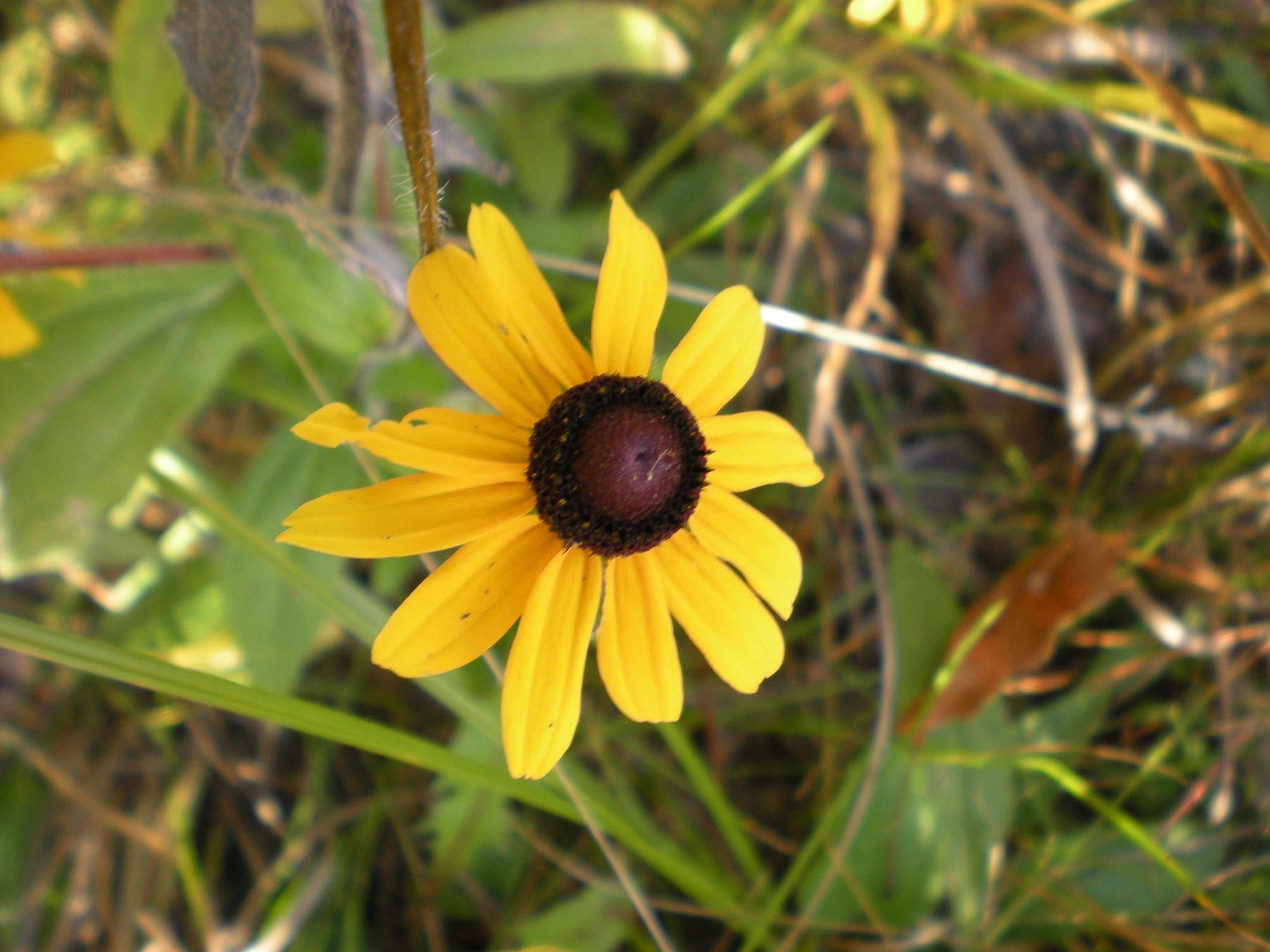 LATE black-eyed Susan