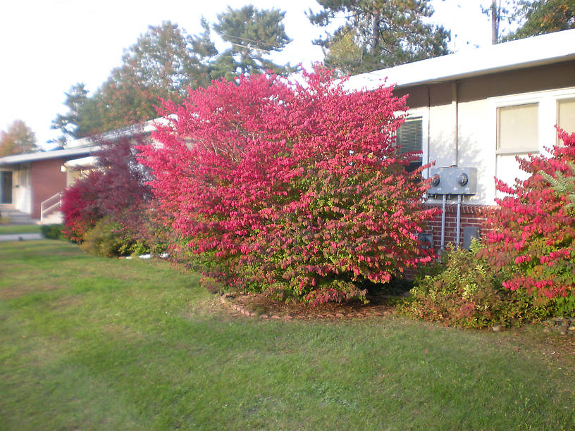 Burning bushes in front of my house