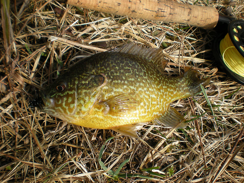 Nice pumpkinseed from Clark's Marsh on an all-black #10 Woolly Bugger