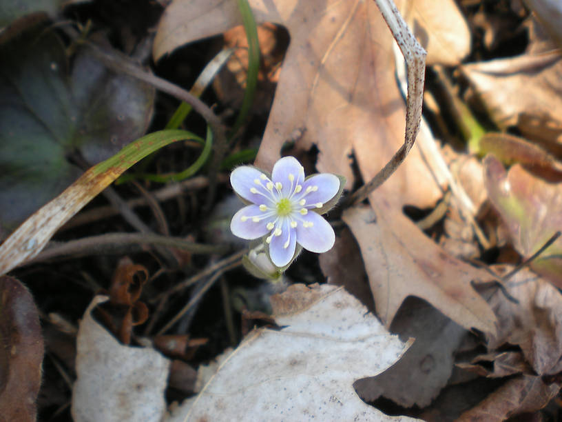 Round-lobed hepatica - WAY early!