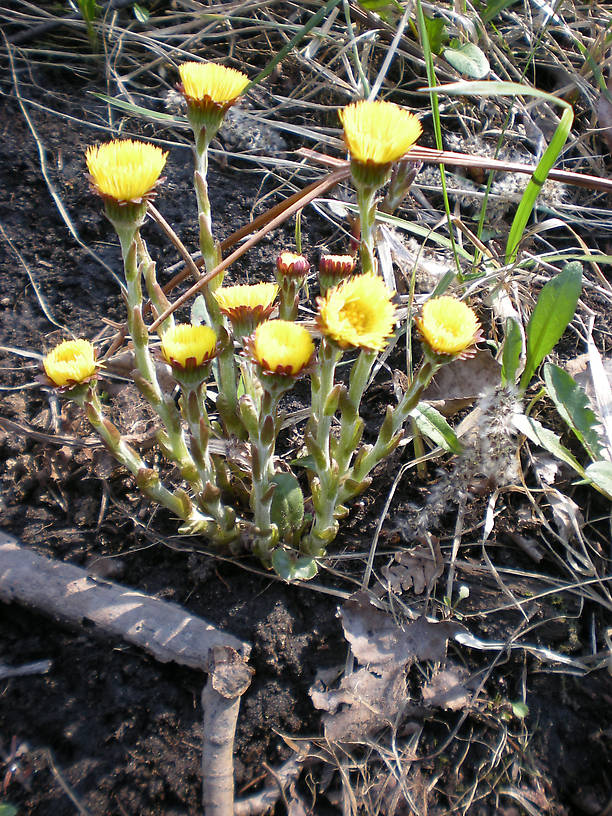 Coltsfoot - THIS I was expecting to see!