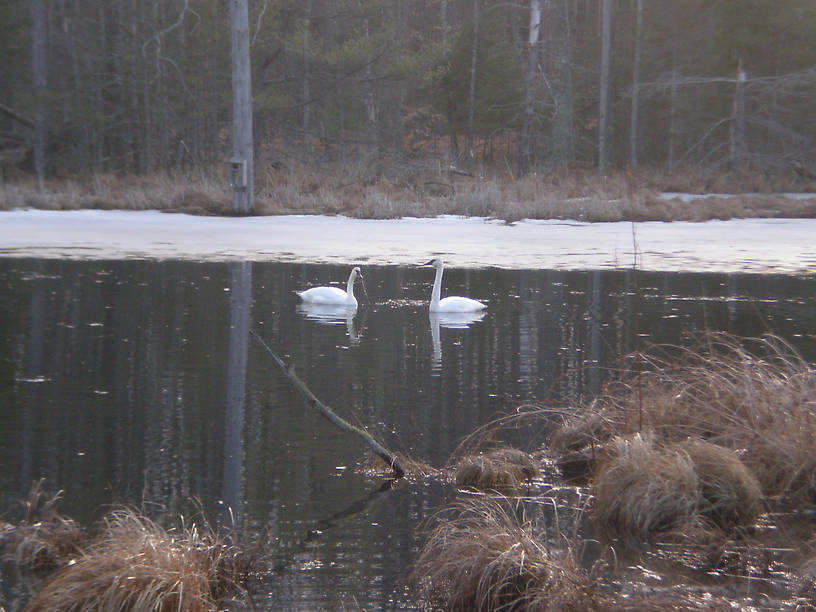 A magnificent pair of trumpeter swans in Clark's Marsh